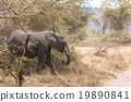 elephant, elephants, safari 19890841