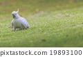 cockatoo, green, wing 19893100