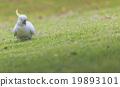 cockatoo, green, wing 19893101