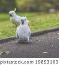 cockatoo, natural, green 19893103