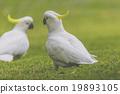 cockatoo, natural, green 19893105