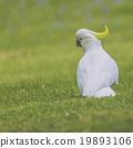 cockatoo, natural, green 19893106
