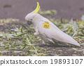 cockatoo, natural, green 19893107
