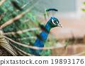 นกยูง,ขนนก,สวยงาม 19893176
