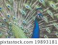 นกยูง,ขนนก,สวยงาม 19893181