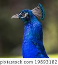 นกยูง,ขนนก,สวยงาม 19893182
