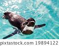 สระน้ำ,เพนกวิน,สัตว์ 19894122