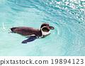 สระน้ำ,เพนกวิน,สัตว์ 19894123
