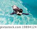 สระน้ำ,เพนกวิน,สัตว์ 19894124