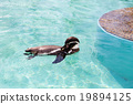 สระน้ำ,เพนกวิน,สัตว์ 19894125