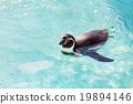 สระน้ำ,เพนกวิน,สัตว์ 19894146