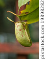 Nepenthes. 19898282