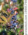 fruit, rhaphiolepis, umbellata 19905790
