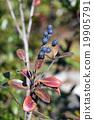 fruit, rhaphiolepis, umbellata 19905791