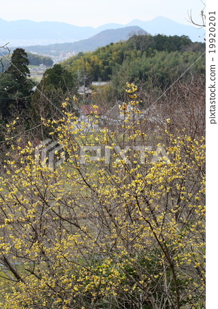 Wax plum and mountain mountain of Asaka village Yatsugi in Nara Prefecture 19920201