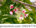 wild himalayan cherry 19929779