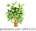 Leaves of Ficus Benjamina 19931123