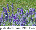 Violet Lavender Flowers 19931542