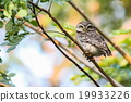 Spotted Owlet (Athene Brama) is sitting on tree. 19933226