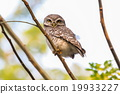 Spotted Owlet (Athene Brama) is sitting on tree. 19933227