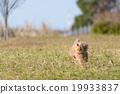跑玩具貴賓犬 19933837
