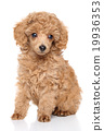 Toy Poodle puppy 19936353