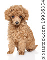 Toy Poodle puppy 19936354