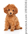 Toy Poodle puppy 19936361