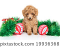 Christmas Toy Poodle puppy 19936368
