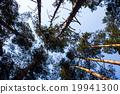 silhouette, pine, tree 19941300