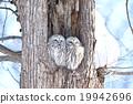 長尾林鴞 貓頭鷹 冬 19942696