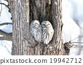 長尾林鴞 貓頭鷹 冬 19942712