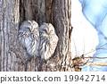長尾林鴞 貓頭鷹 冬 19942714