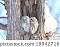 長尾林鴞 貓頭鷹 冬 19942716