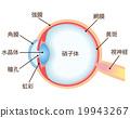 眼睛 目光 斷面圖 19943267