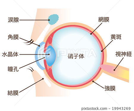 eyes, eye, cross-section diagram 19943269