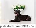 狗 狗狗 寵物 19949743