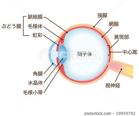 眼睛 目光 斷面圖 19950792