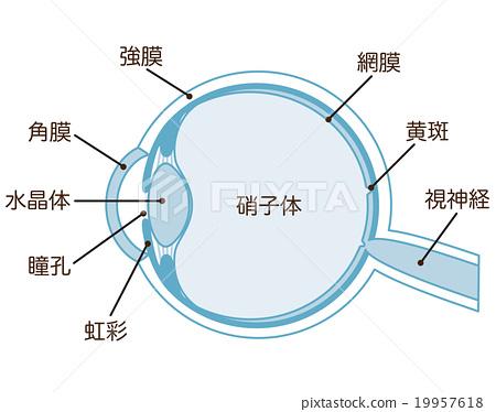 眼睛 目光 斷面圖 19957618