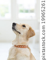 狗 狗狗 金毛獵犬 19965261