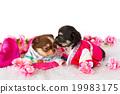 Cute Chihuahua puppy 19983175