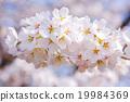 Cherry Blossoms ต้นเชอร์รี่ Yoshino 19984369