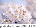 櫻花吉野櫻花樹 19984370