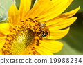 Bee on sunflower in the field on a sunny day 19988234