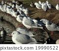 이나 게 해변 공원의 유리카모메와 고방 오리 19990522