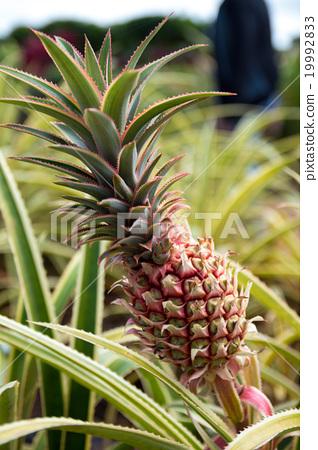 pineapple 19992833