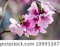 桃花 花朵 花卉 19993347
