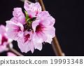 桃花 花朵 花卉 19993348