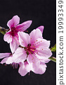 桃花 花朵 花卉 19993349