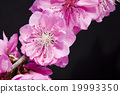 桃花 花朵 花卉 19993350